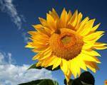 Slunečnice roční Plants, Plant, Planets