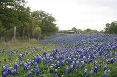 Texas wildflower report: Expect peak bluebonnets around April 1 | Dallasnews.com - News for Dallas, Texas - The Dallas Morning News