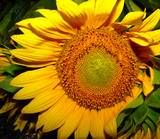 A Rustic Italian Dinner ThemeParty byDonna Pilato: Sunflower Centerpiece by Donna Pilato  Flavorful, aromatic, healthy and satisfying is how I would characterize rustic Italian cuisine. Add to that warm, inviting and casual, and you have the ingredients for a nearly perfect dinner party to share with your friends. Setting the Stage: create the mood for this dinner party by  bringing the sunny spirit of the Italian countryside into your home. Seat your guests at natural wooden tabl...