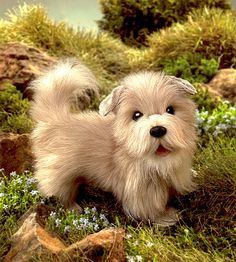 glen of imaal terrier breeders - Google Search