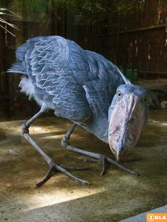 SHOEBILL STORKBalaeniceps rexPosted by ZulaNews This species was only classified in the 19th century when some skins were brought to Europe....