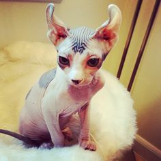 I've never seen one with curly ears. Apparently this is a different breed called an elf? Still adorable. Tell me more!
