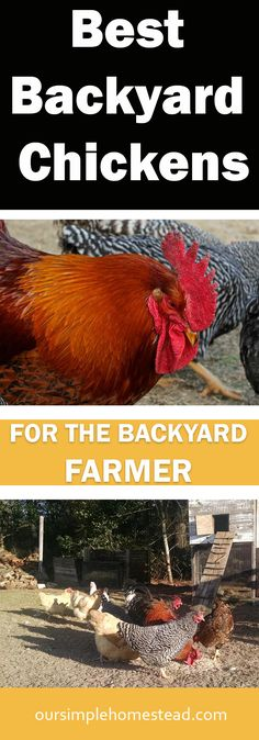 Best Backyard Chickens for the Backyard Farmer - While most chickens are bred to produce either eggs or meat, there are a couple dual-purpose breeds that can provide both and we've had good luck with.