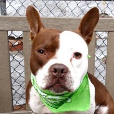 """MARY - A1101838 - - Manhattan  TO BE DESTROYED 02/02/17: ****PUBLICLY ADOPTABLE**** A volunteer writes: Mary comes right away to her door when she is called upon. """"Present and ready to go!!!"""" Mary is leashed in no time and off we go around the block.. She is a great walker, does her business on the way and ignores the few pigeons encountered. She is civil to her peers neared during our stroll. Mary is really cute all dressed in chocolate and white, healthy looki"""