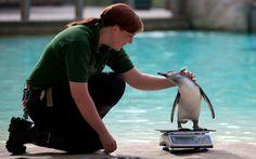 Pinguim parece 'jogar charme' para uma funcionária do zoológico de Londres durante sua pesagem. A operação de pesagem de todos os animais do zoo é feita uma vez por ano.