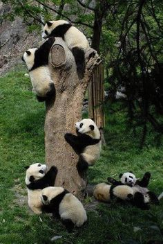 Pandas favorite activity is climbing trees, via ...