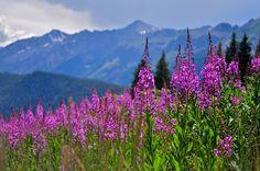 Colorado mountain fireweed