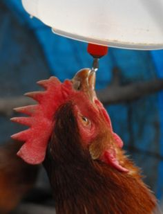 Automatic chicken waterer that keeps water clean and free of mud & dirt...helps keep chickens healthy and layin' those yummy eggs.