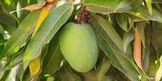 Jak vypěstovat mangovník z pecky manga z obchodu Mango, Fruit, Garden Ideas, Decor, Plants, Archive, Manga, Decoration, Landscaping Ideas