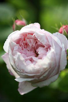 Gallica Rose: Rosa 'Antonia d'Ormois'