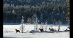 Bilderesultat for bilder av ulv