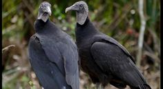The color black and scavenging don't typically signify love. But black vultures stay together forever once mating occurs. (Dawn Scranton/Flickr)  The color black and the scavenging vulture don't typically signify love. But the black vulture — which relies on the strong nose of its turkey vulture cousin to find food — is one of the few birds that stays together forever once mating occurs. On top of that, this species has a strong family life once it has chicks.