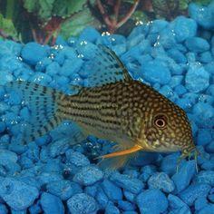 Sterbai Cory Catfish (5)