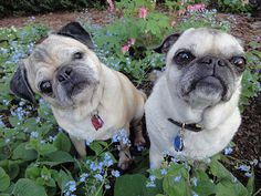 """Little old lady pug says, """"...da hell you talkin' 'bout?"""""""