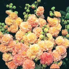 Perennial Seeds - Hollyhock r. 'Peaches 'n' Dreams'™ - My favourite hollyhock from the wonderful Thompson and Morgan
