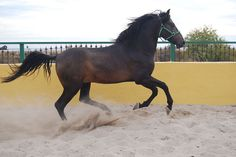 Yeguada Chando- PRE- Spanish-Andalusian Horses for sale