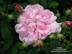 Ispahan rose-we have a wild stand of these here growing under some Rose Of Sharon.  The smell AMAZING when in bloom!