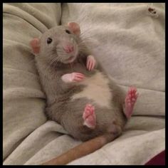 Rat laying down on blanket