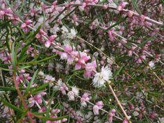 Hypocalyma angustifolia Australian Plants, Clay, Clays, Modeling Dough