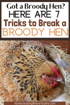 A broody hen can be a great thing for your backyard flock, but sometimes, having a broody hen isn't so awesome. Stopping broodiness is hard, but here are some tricks to break a broody hen. #broodyhen Chicken Feed, Chicken Eggs, Raising Backyard Chickens, Broody, Hen House, Coops, Farm Animals, Homestead, Awesome
