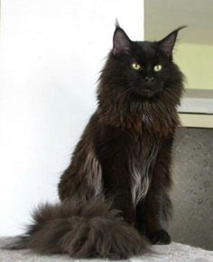 Black Maine coon cat - Tap the link now to see all of our cool cat collections!