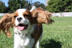 Henry is a 3 year old king Charles cavalier. He's the happiest little man when he's sitting in the sun surrounded by people. He loves causing trouble with his little sister Harper and spends all day wagging his tail and chasing the cat.