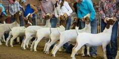 2017 State Fair of Texas Livestock Events Schedule