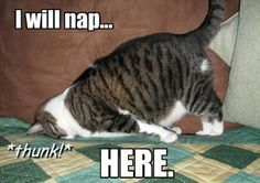 napping cat...
