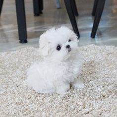 Adorable Maltese Puppy by TeaCups Puppies Boutique. Wish tea cups were not Maltese princess Teacup Maltese, Maltese Dogs, Teacup Puppies, Cute Puppies Maltese Dog For Sale, Tiny Puppies For Sale, Micro Maltese, Super Cute Puppies, Cute Baby Dogs, Maltese Dogs, Cute Dogs And Puppies, Cute Baby Animals, Teacup Maltese Puppies