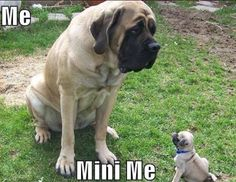 """The breed is commonly referred to as the """"Mastiff"""". Also known as the English Mastiff this giant dog breed gets known for its splendid, good natu Old English Mastiffs, English Mastiff Puppies, English Bull, Mastiff Breeds, Mastiff Dogs, Brindle Mastiff, Giant Dog Breeds, Giant Dogs, Pugs"""