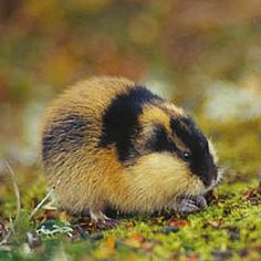 another lemming
