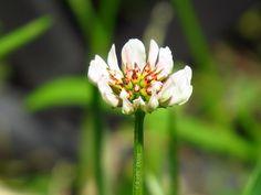 White clover / Clickasnap