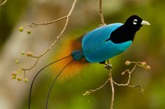 Beautiful Black and Blue Birds