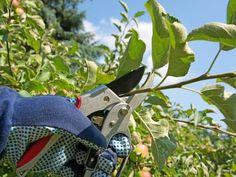 Drzewa i krzewy owocowe można przycinać w dwóch terminach - zimowym (w czasie spoczynku) oraz letnim (w okresie wegetacji). Pergola, Pruning Shears, Fruit Trees, Garden Tools, Adidas, Design, Gardening, Grill, Plant