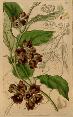 133 Gonolobus hispidus Hook. & Arn. / Curtis's Botanical Magazine, vol. 66 [ser. 2, vol. 13]: t. 3786 (1840) [W.H. Fitch]