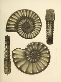 Beitrag zur Kenntniss der jüngsten Ammoneen Norddeutschlands. - Biodiversity Heritage Library  |  1867