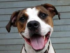 ELENI is an adoptable Pit Bull Terrier Dog in Brooklyn, NY.  ...