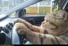 This cat resembles mine (although my cat doesn't have a driver's license).