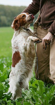 This looks like a Brittany Spaniel my dad had when I was a kid.