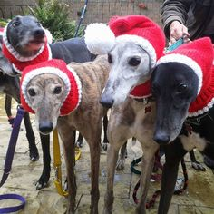 Woman Dresses Over 300 Homeless Greyhounds in Christmas Sweaters