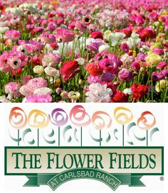 The Flower Fields at