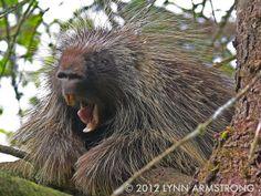 Yawning Porcupine