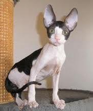 cornish rex kittens - Google Search