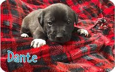 New York, NY -RESCUE DOGS ROCK NYC -  Pit Bull Terrier Mix. Meet DANTE (MD), a puppy for adoption. http://www.adoptapet.com/pet/17115837-new-york-new-york-pit-bull-terrier-mix