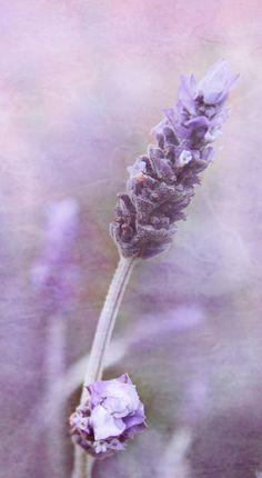 Alfa img - Mostrando> Arte Lavender