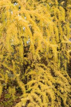 In fall, the needles of Larix kaempferi ('Diana') turn from blue-green to butter-yellow. Zones: 4-8. Grows up to 20 feet tall and 7 feet wide in partial to full sun.