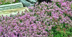 Robust, pflegeleicht und mit dichtem Wuchs: so wünschen wir uns Bodendecker. Hier finden Sie die besten Bodendecker für sonnige Plätze in Ihrem Garten.
