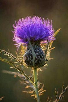 "Bull Thistle by Jim Crotty"" by Jim Crotty I LOVE THISTLES! they are so beautiful and so spikey, I like the spikes less.I LOVE THISTLES! they are so beautiful and so spikey, I like the spikes less. Purple Flowers, Wild Flowers, Exotic Flowers, Yellow Roses, Pink Roses, Arrangements Ikebana, Arte Floral, Planting Flowers, Flowers Garden"