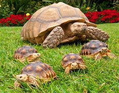 Five African-spurred tortoises (© Getty Images/Mike Aguilera)