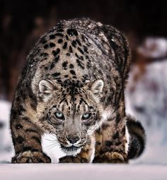 """beautiful-wildlife: """"About to Pounce … by © Paul Keates """""""